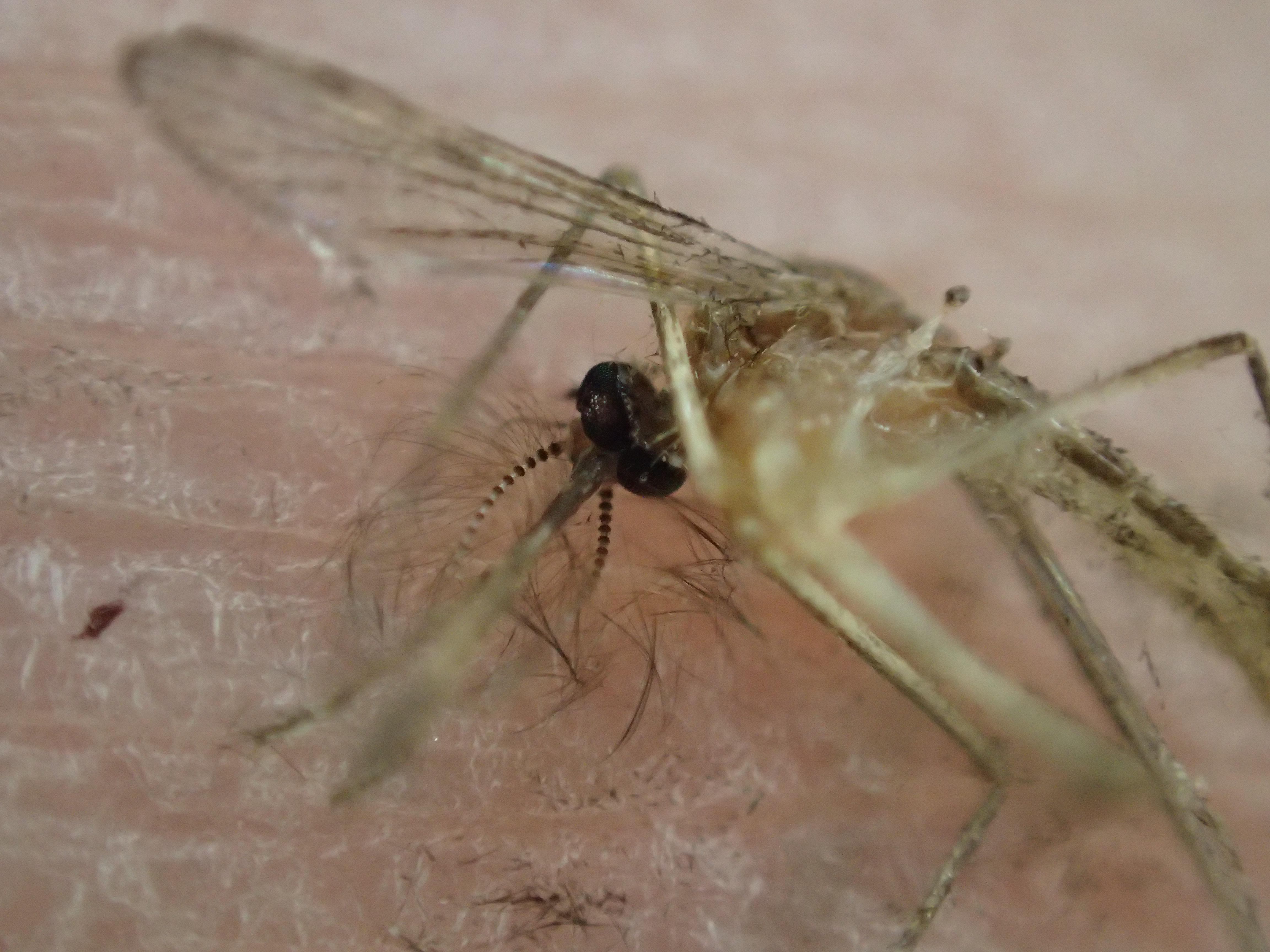 手の平で死んだ蚊を顕微鏡モードで超拡大アップで撮影した写真