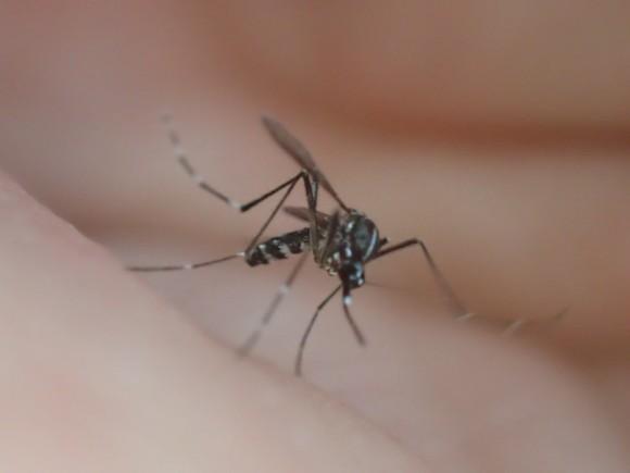 後ろ足を上げ下げする動作を繰り返す害虫のカ(蚊)