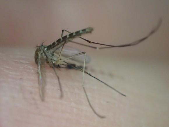デング熱など人間に危険を及ぼす病気を移す昆虫の蚊(カ)