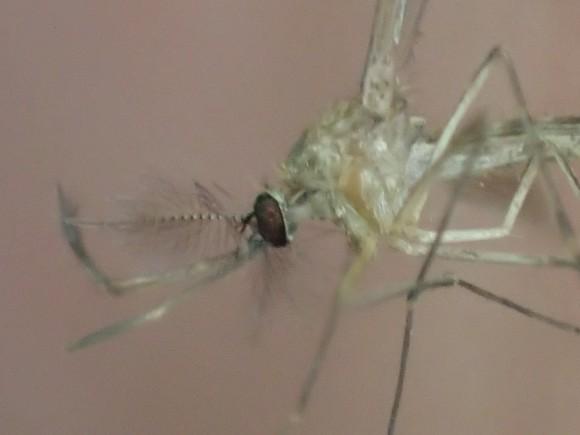 超拡大モードで蚊(カ)を撮影した写真・画像
