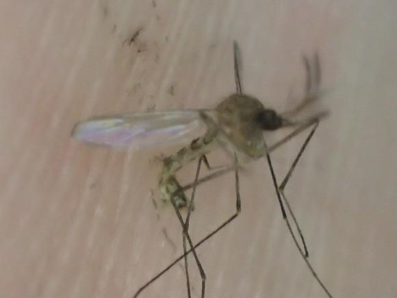 一発で即死させた感染症を媒介する恐ろしい昆虫の蚊