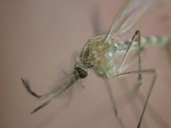 顕微鏡で見たように超拡大モードで撮影した蚊の写真