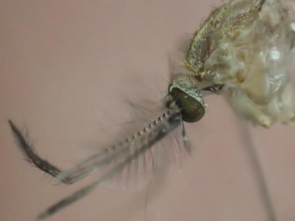 蚊の顔の表情を撮影したミクロな世界