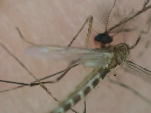 頭部を叩いて命を絶たれた害虫の蚊(カ)