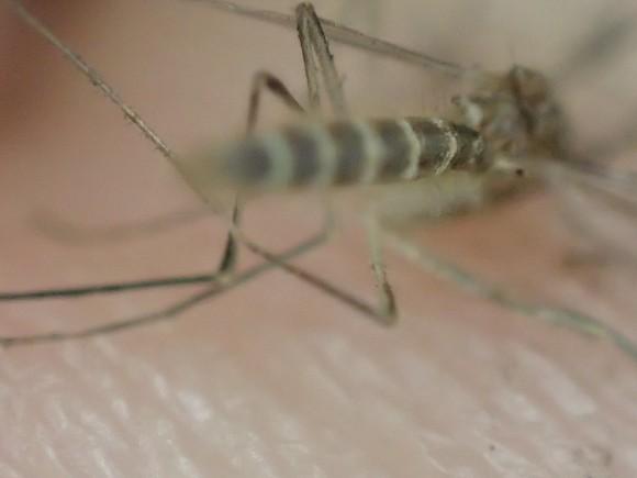 蚊の腹部の白と黒のシマシマ模様を超拡大アップで撮影