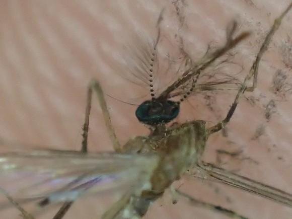 オリンパスのデジカメ顕微鏡モードで蚊の頭部を撮影