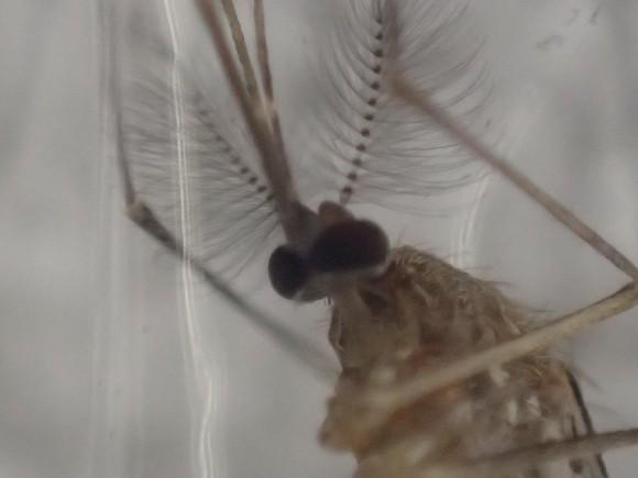冷蔵庫で1時間以上冷やされても生きているしぶとい蚊
