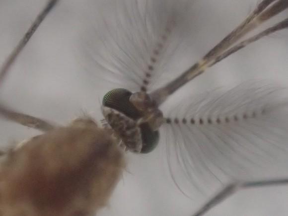 オリンパスTG-4の顕微鏡モードで撮影した蚊の頭部
