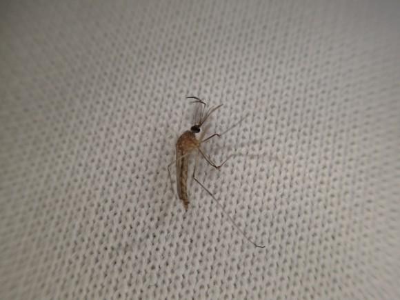 瓶から出した蚊は凍えて動かなく死んだように見える