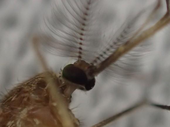 顕微鏡モードで超拡大ズーム撮影した蚊の顔面