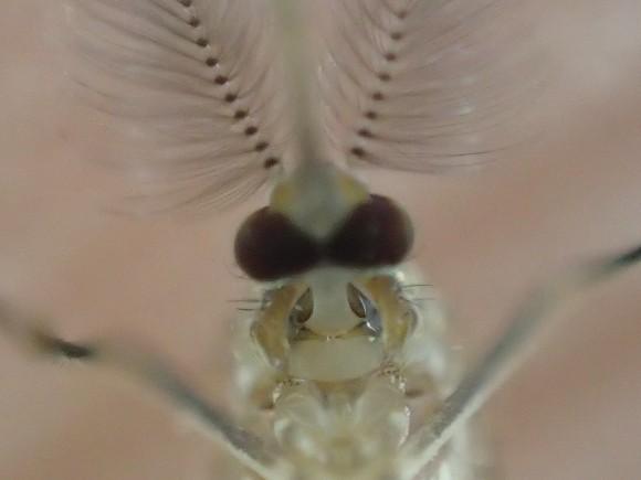 冷凍庫で30分冷やすと仮死状態にはなるが死なないタフな蚊