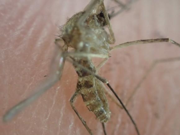 顕微鏡モードで超拡大アップ撮影した蚊の写真