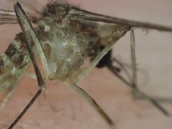 地球上で最も人類の命を奪った害虫の蚊