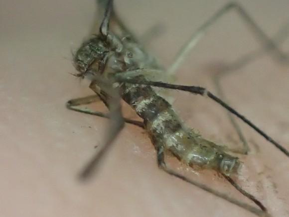 腹部の白と黒のシマシマ模様が特徴の害虫