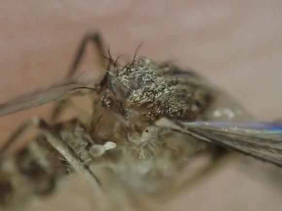 ジカ熱・デング熱を媒介させる種類の害虫である蚊の死体