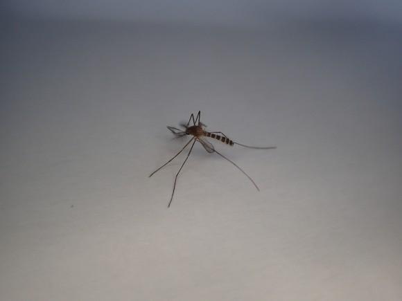 息を引き取り動かなくなった害虫の蚊(カ)