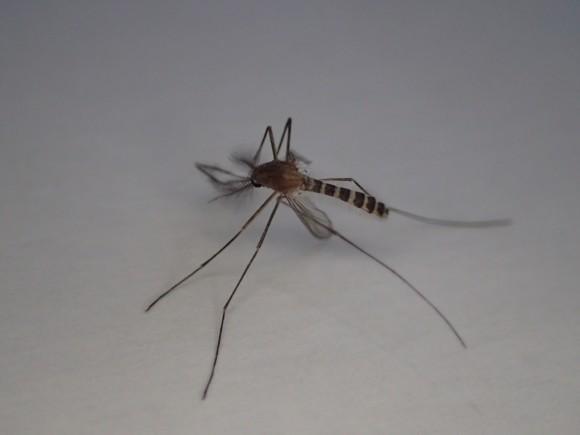 立ったまま動かなくなった蚊(アカイエカ?)