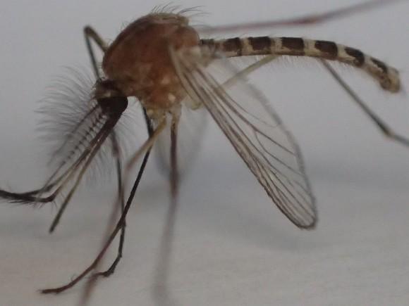 死んで動かなくなった害虫の蚊(カ)