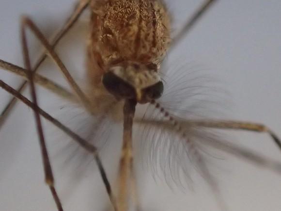 害虫 蚊(カ)の顔面を超拡大モードで撮影した写真