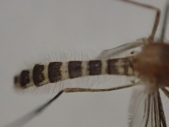 蚊の白と黒のシマシマ模様の腹部アップ写真