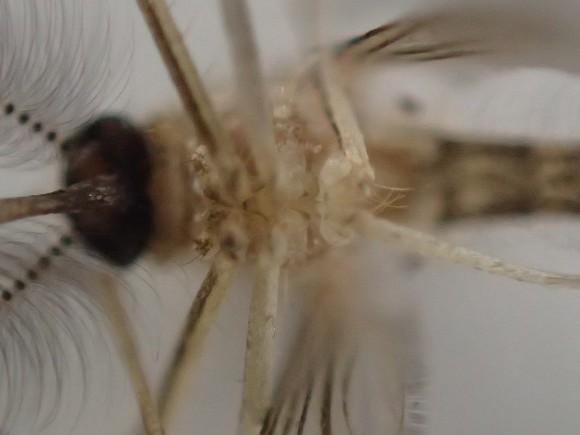 蚊の足の付け根の超拡大アップ写真・画像