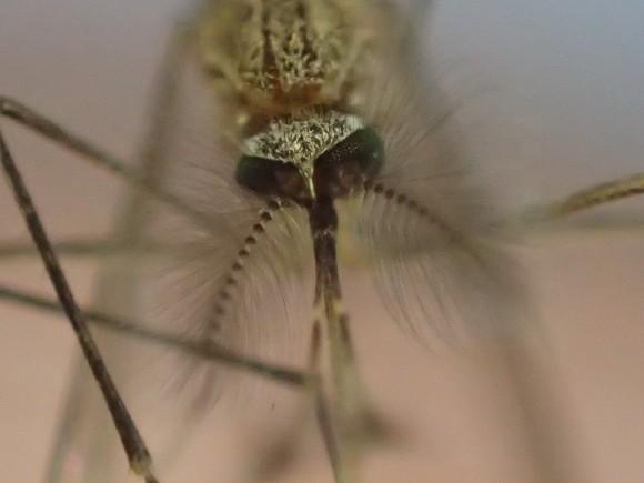 蚊の頭部・顔を正面から超アップで撮影した写真・画像