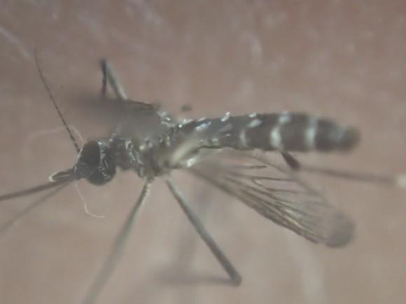 駆除した蚊(ヒトスジシマカ・ヤブ蚊)の写真・画像フォト