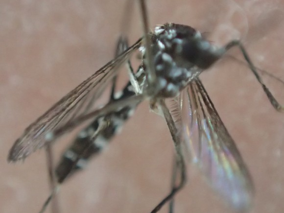 感染症を媒介する害虫の蚊(ヒトスジシマカ)を撮影した拡大画像