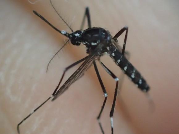 デング熱を媒介する恐れのある恐ろしい昆虫のヒトスジシマカ・ヤブ蚊