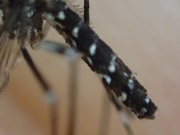 ヒトスジシマカの腹部アップ写真(白黒模様)