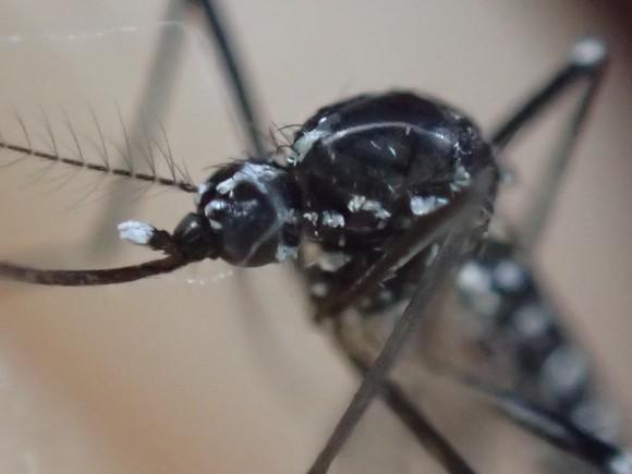 ウイルスを運ぶ害虫の蚊(カ)顕微鏡モードで撮影