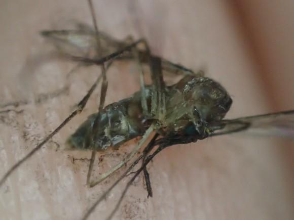 叩いて退治したヒトスジシマカ(蚊)の死骸