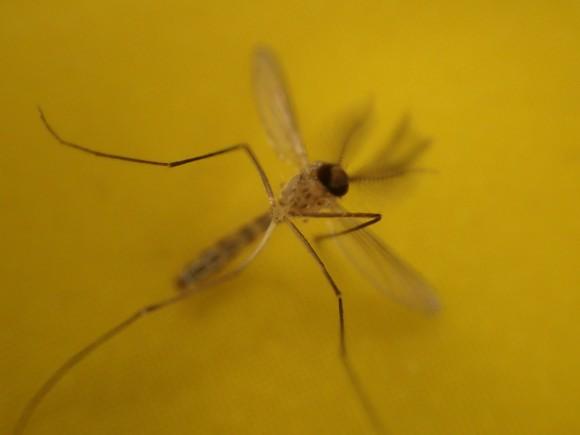 害虫 蚊(カ)