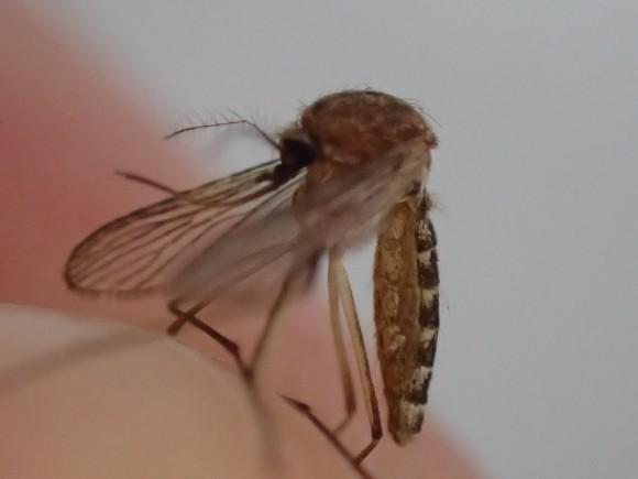 感染症を媒介する害虫の蚊(カ)