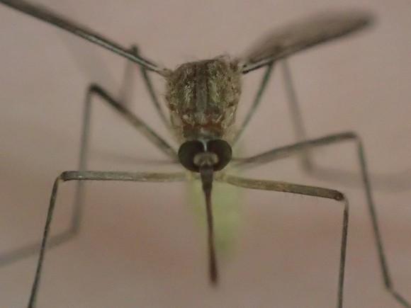 手の平を堂々と歩く害虫の蚊(カ)