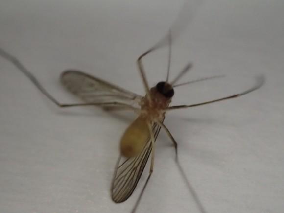虫取り網で捕獲(生け捕り)した害虫の蚊(カ)