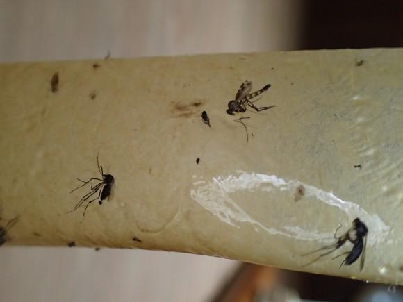 ハエ取り紙の粘着シートに引っ付いた蚊(カ)