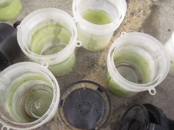 雨水をボウフラと共に捨てると緑色の汚れた容器内が見える