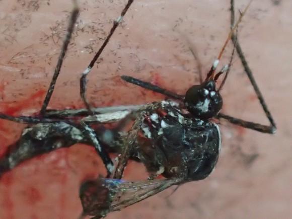 血を吸い終える直前に退治された害虫の蚊・ヒトスジシマカ