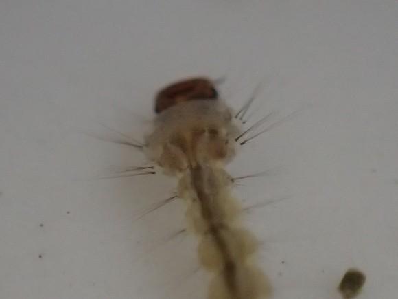 害虫 蚊の幼虫オニボウフラのフリー写真・画像素材