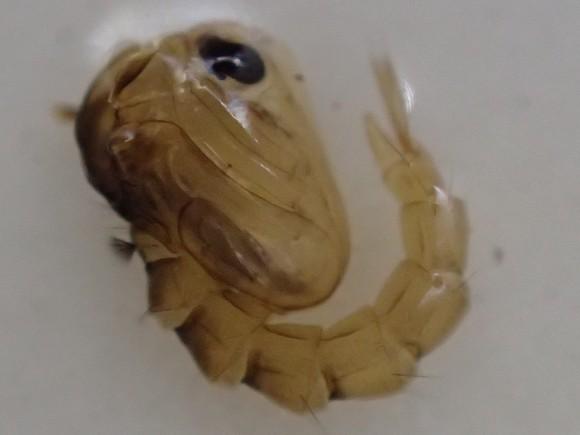 蛹から成虫へと羽化を間近に控えた蚊のオニボウフラ