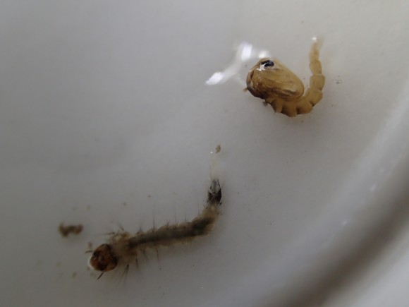 蚊の変態の過程、幼虫から蛹(サナギ)となったオニボウフラ