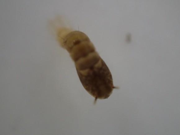 蚊の蛹オニボウフラを真上から撮影した写真・画像