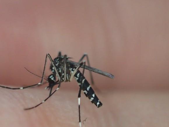 足を踏ん張って皮膚に口吻を突き刺し血管を探る蚊