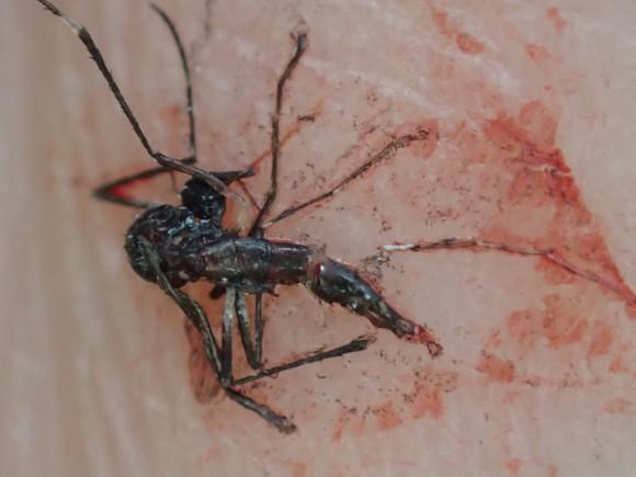 一撃で仕留められて無残な最期を遂げた害虫の蚊