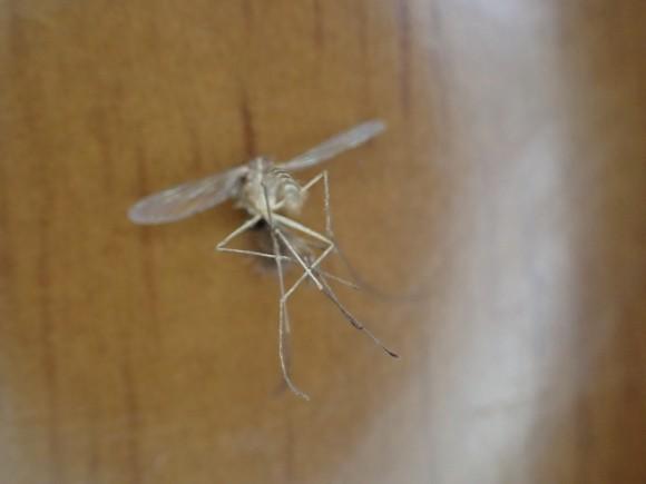 平手打ちで瞬殺した害虫の蚊をデジカメで接写した写真・画像