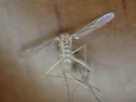 種類はアカイエカと考えられる蚊の腹部