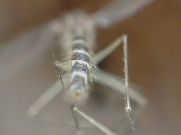 腹部の白と黒のシマシマ模様が特徴の蚊