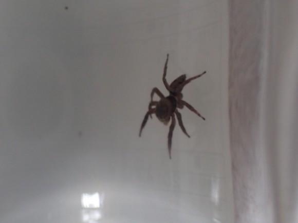 一般家庭で普通に見掛ける益虫のハエトリグモ