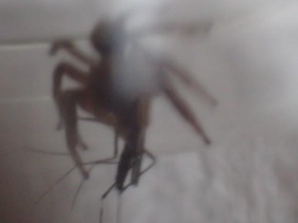 ヒトスジシマカ(蚊)に喰らいついたハエトリグモ